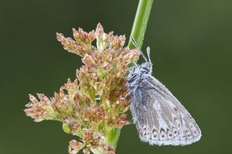 Common Blue butterfly on Soft Rush