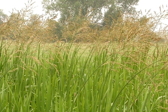 Reed Sweet-grass