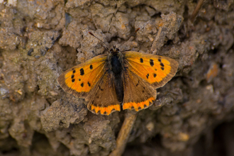 Small Copper butterfly