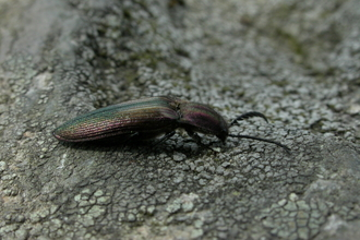 Coppery Click Beetle