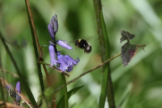Bluebell and Bee