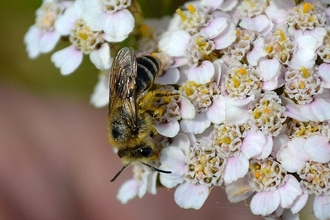 Colletes Bee