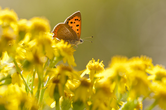 Butterfly on Common Ragwort