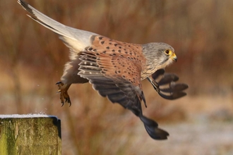 Kestrel in full flight