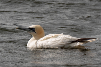 Gannet at Brockholes