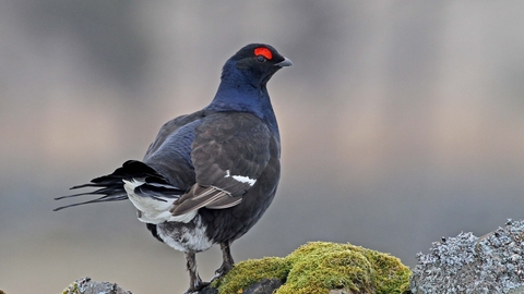 Male black grouse