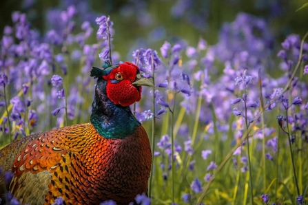 Pheasant in bluebells