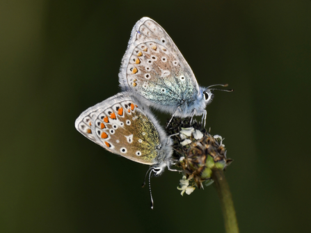 Courting Common Blue Butterflies