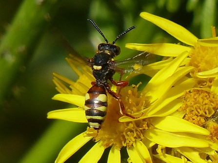 Black Horned Nomad Bee