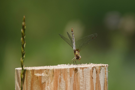 Any pose plants can do - dragonfly