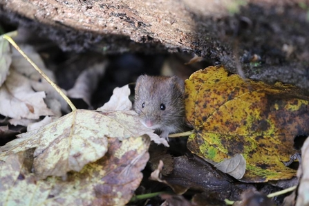 Bank Vole among the leaves
