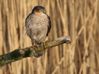 Menacing Sparrowhawk - Lunt Meadows - Charlie Lowe