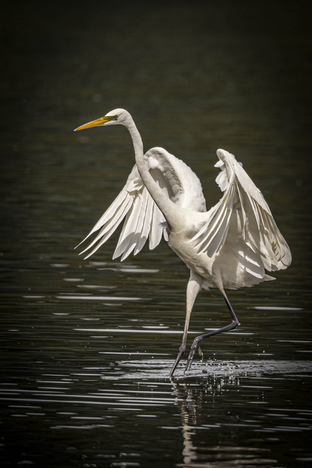 Great White Egret landing - Phil Jones
