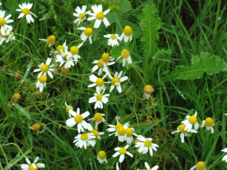 Oxeye daisy by Michelle